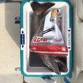 マーやんさんの富山県でのアラの釣果写真