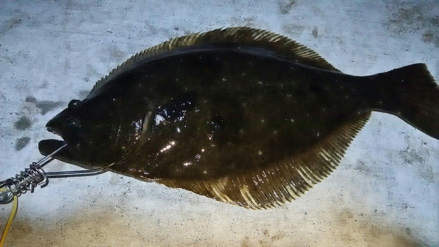 虎目さんの投稿画像,写っている魚はヒラメ