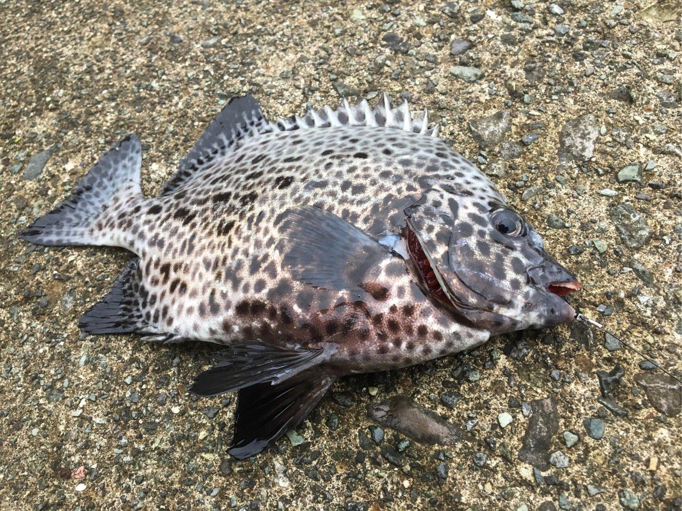 ちょいなちょいなさんの投稿画像,写っている魚はイシガキダイ
