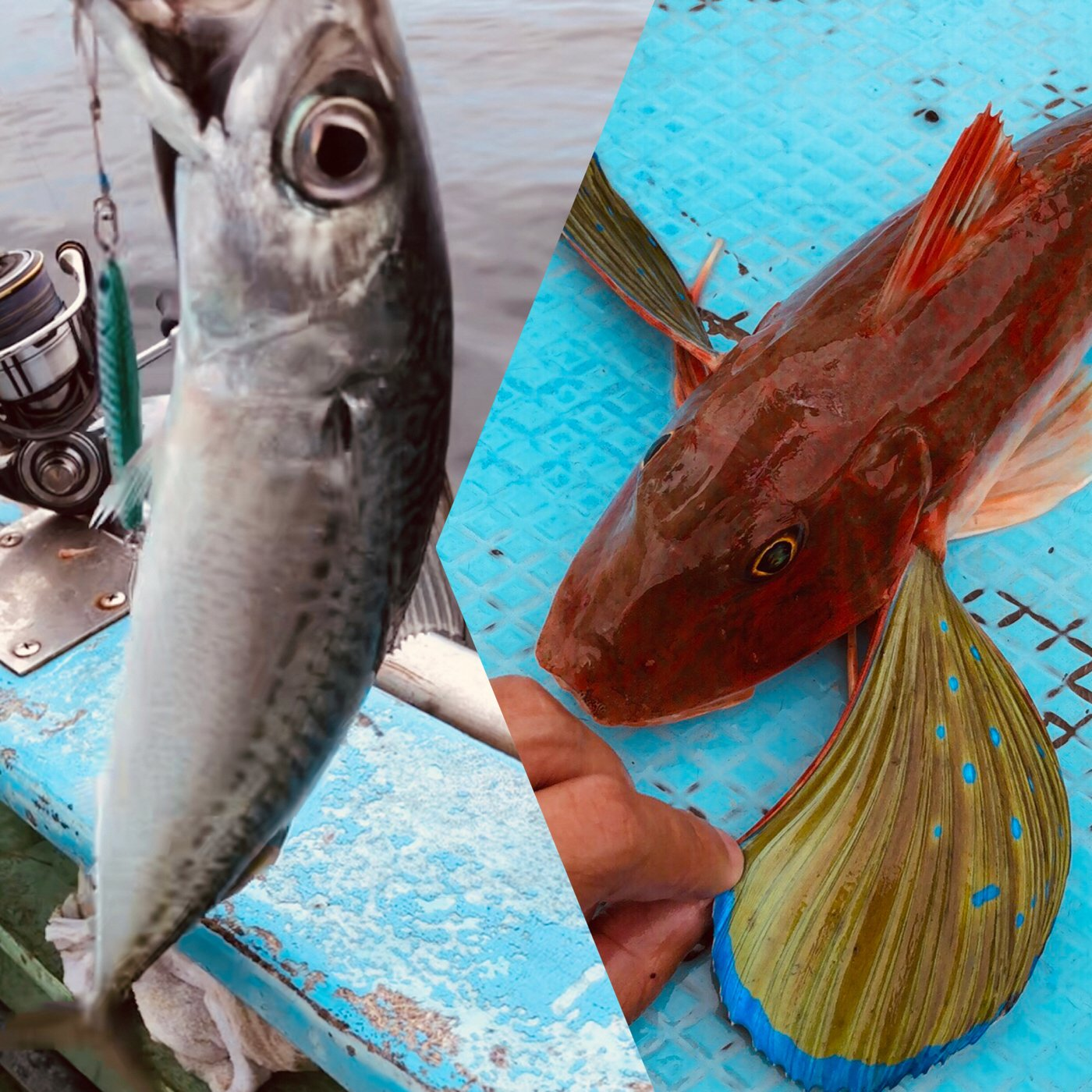 まさしさんの投稿画像,写っている魚はソコホウボウ,ゴマサバ,カサゴ,エソ