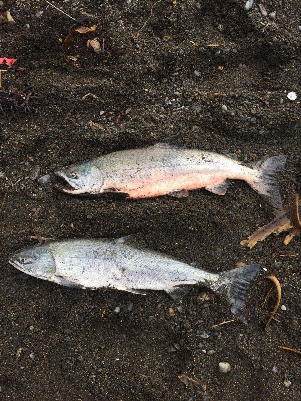 こはぼうさんの投稿画像,写っている魚はサケ