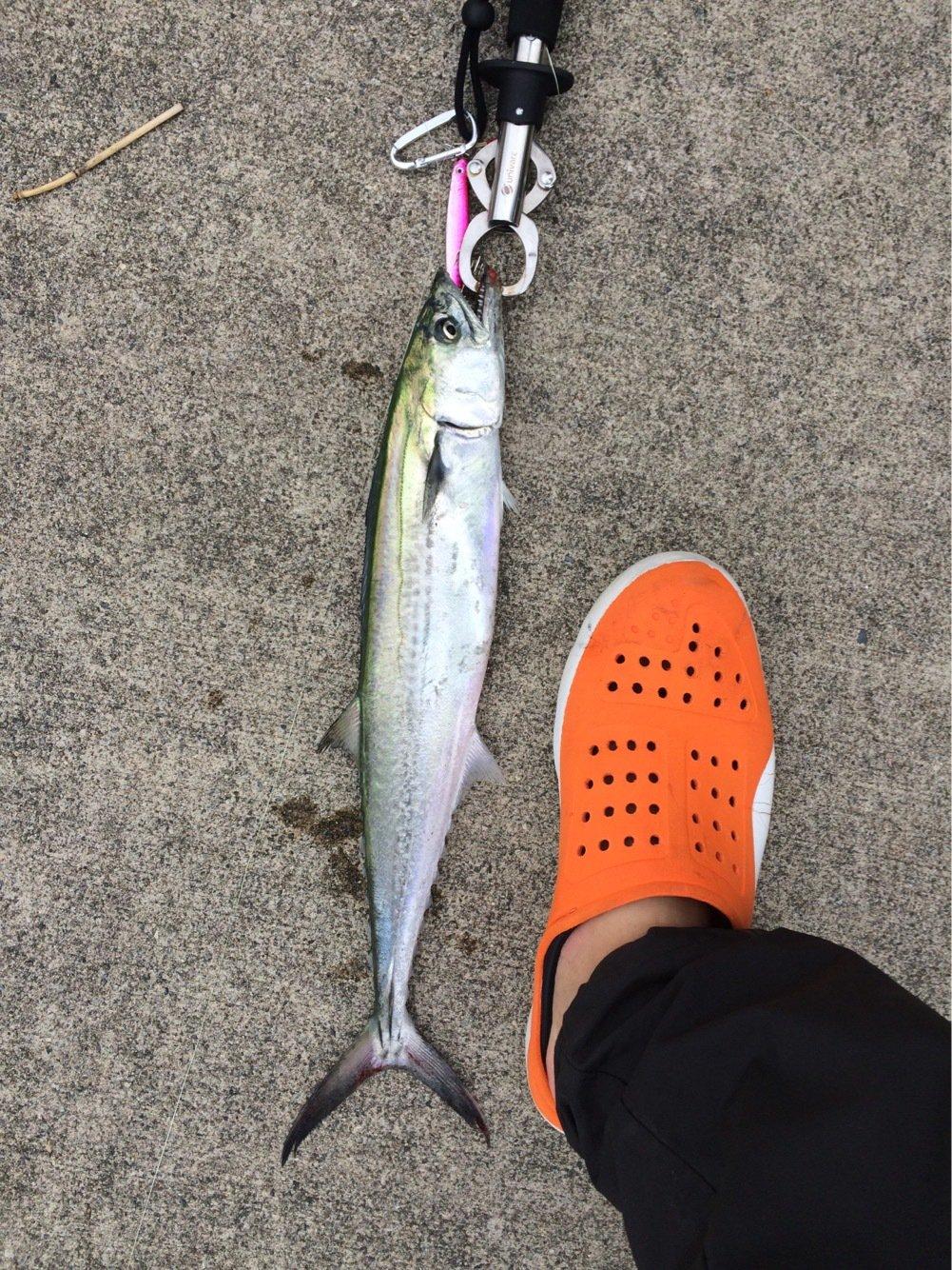 シーズーさんの投稿画像,写っている魚はサワラ