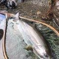 コバちゃんさんのヤマメの釣果写真