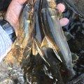 コバちゃんさんのアユの釣果写真