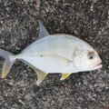 いわさんの鹿児島県日置市での釣果写真