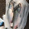 釣魂さんのカラフトマスの釣果写真