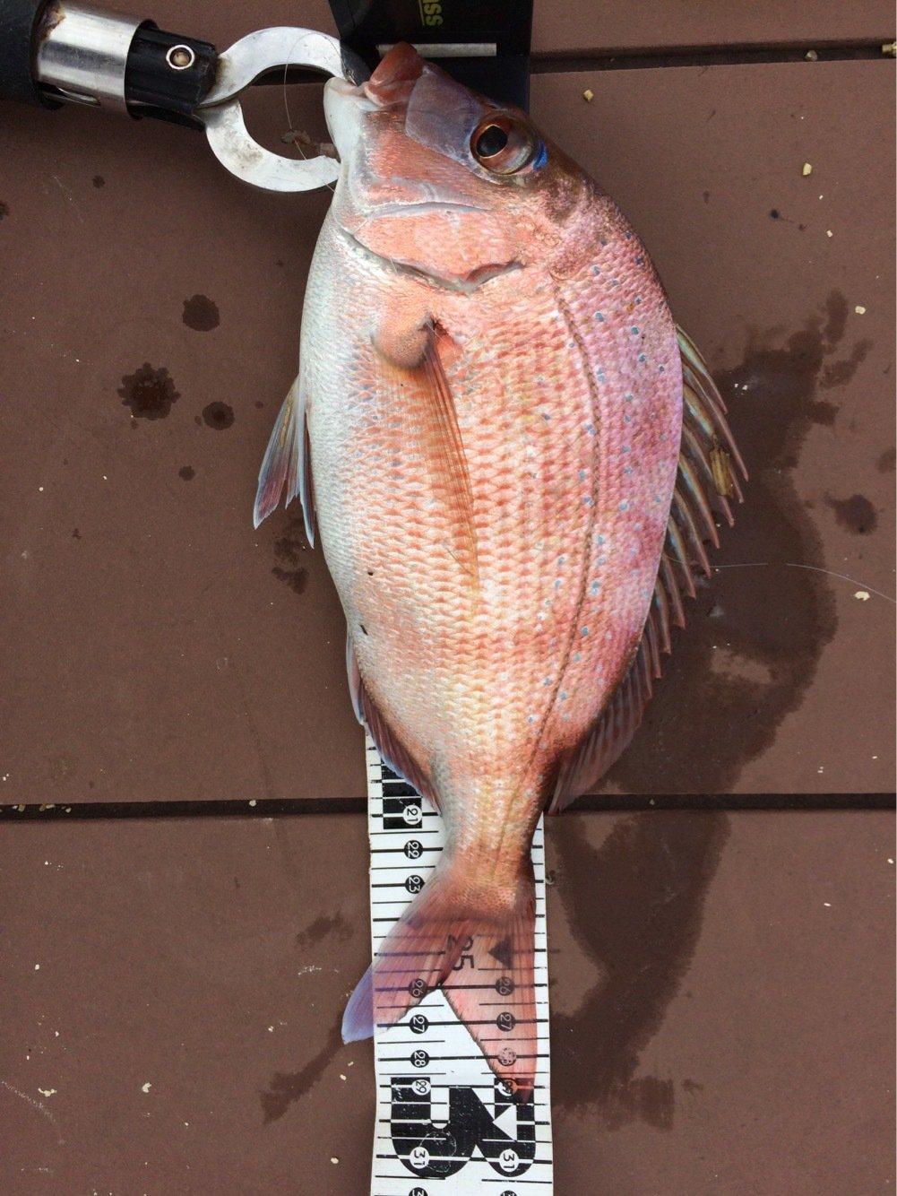 シーバスハンターさんの投稿画像,写っている魚はマダイ