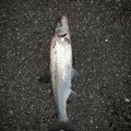 luckyさんの三重県桑名市での釣果写真