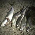 せいたドットコムさんの和歌山県和歌山市での釣果写真