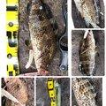 たこたかさんの静岡県でのシイラの釣果写真