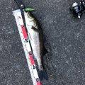 かずさんの千葉県船橋市でのスズキの釣果写真