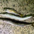うんすいさんの兵庫県淡路市での釣果写真