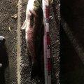 いとまんさんの千葉県船橋市での釣果写真