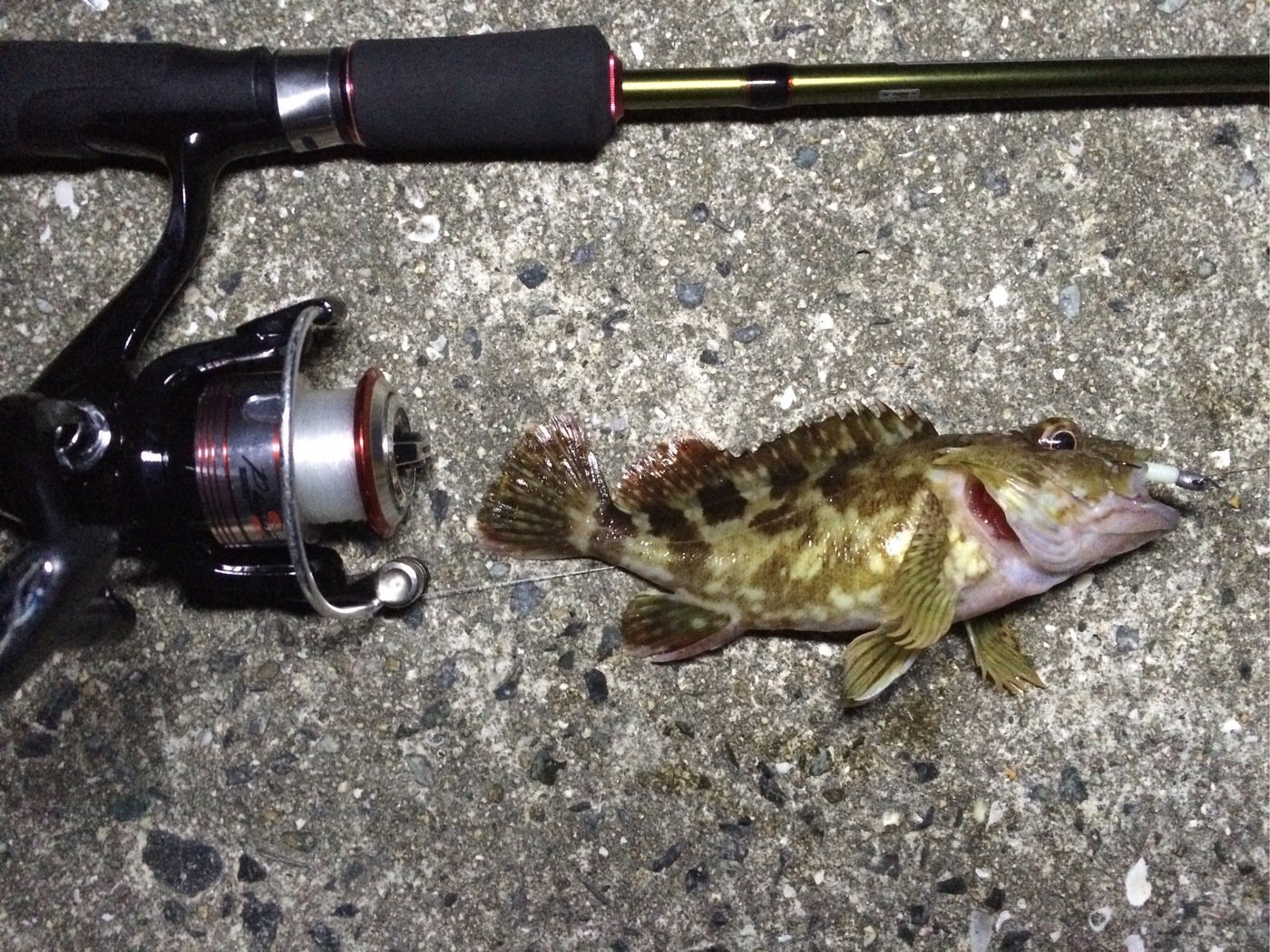 buryunntoさんの投稿画像,写っている魚はカサゴ