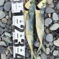 かっつんさんの静岡県でのシイラの釣果写真