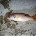 いっせい@働きたくないさんの沖縄県島尻郡での釣果写真