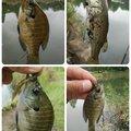 Masaさんの埼玉県でのブルーギルの釣果写真