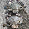外道のこぶへいさんの北海道二海郡での釣果写真