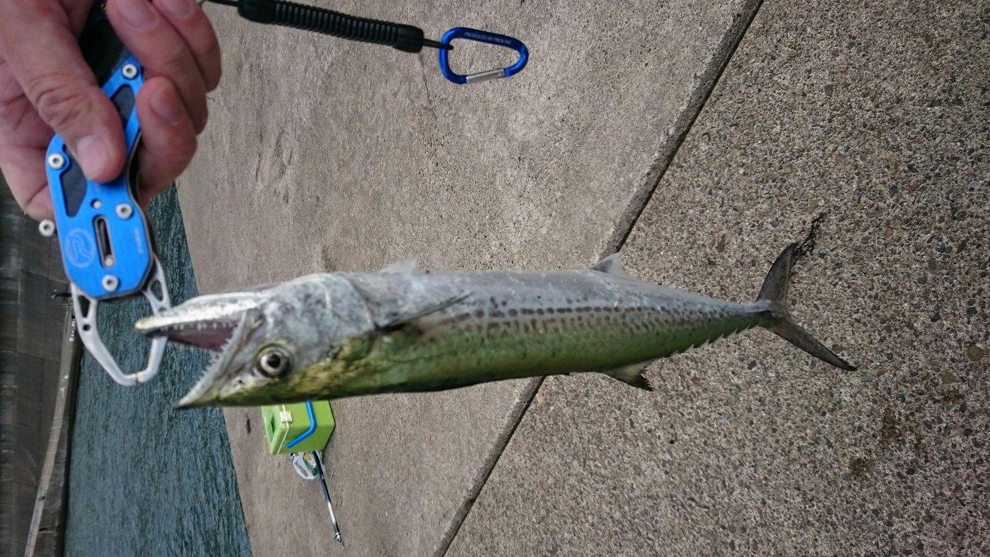 太鼓打ちさんの投稿画像,写っている魚はサワラ