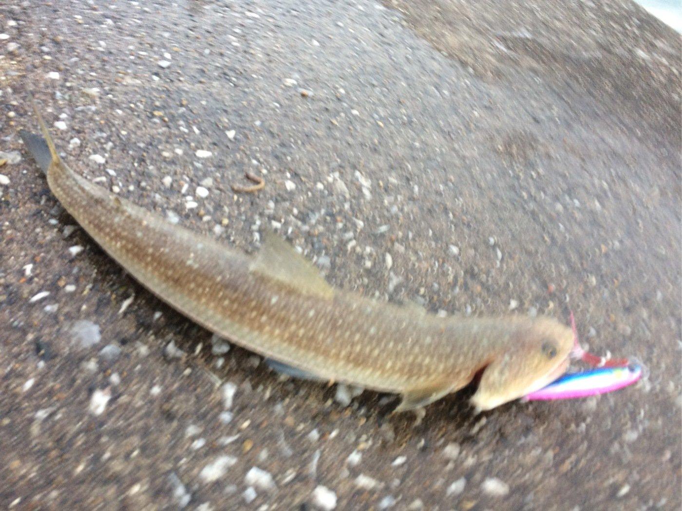 ミューさんの投稿画像,写っている魚はエソ