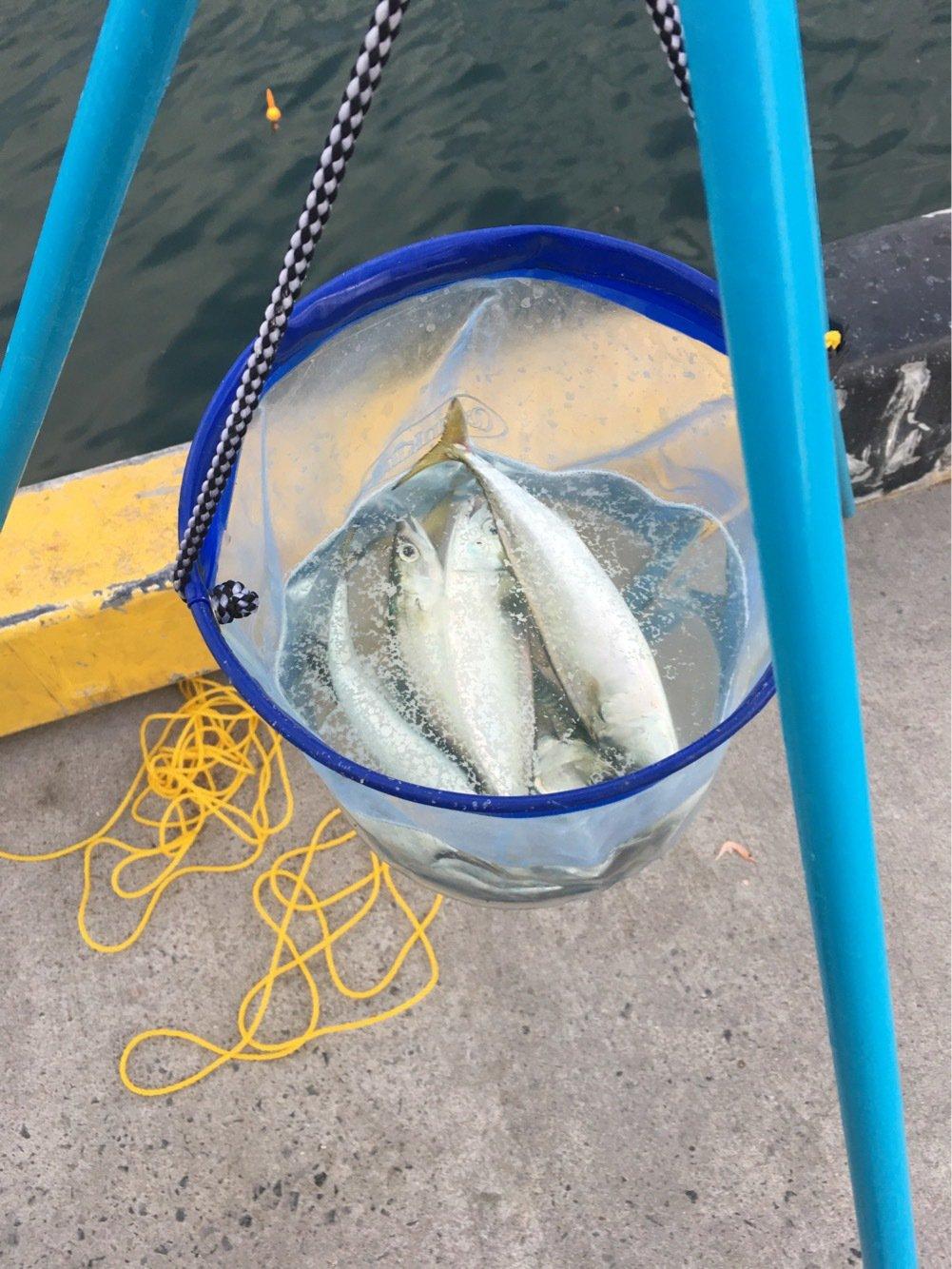タケさんの投稿画像,写っている魚はゴマサバ