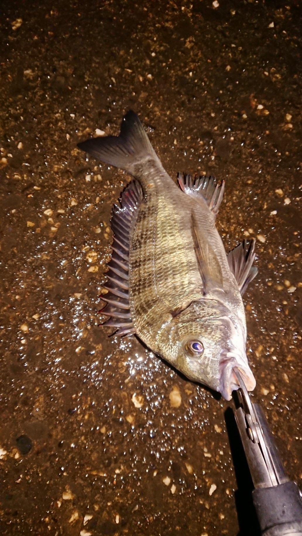 マンボウさんの投稿画像,写っている魚はクロダイ