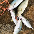 あかつ あらたさんの茨城県高萩市での釣果写真