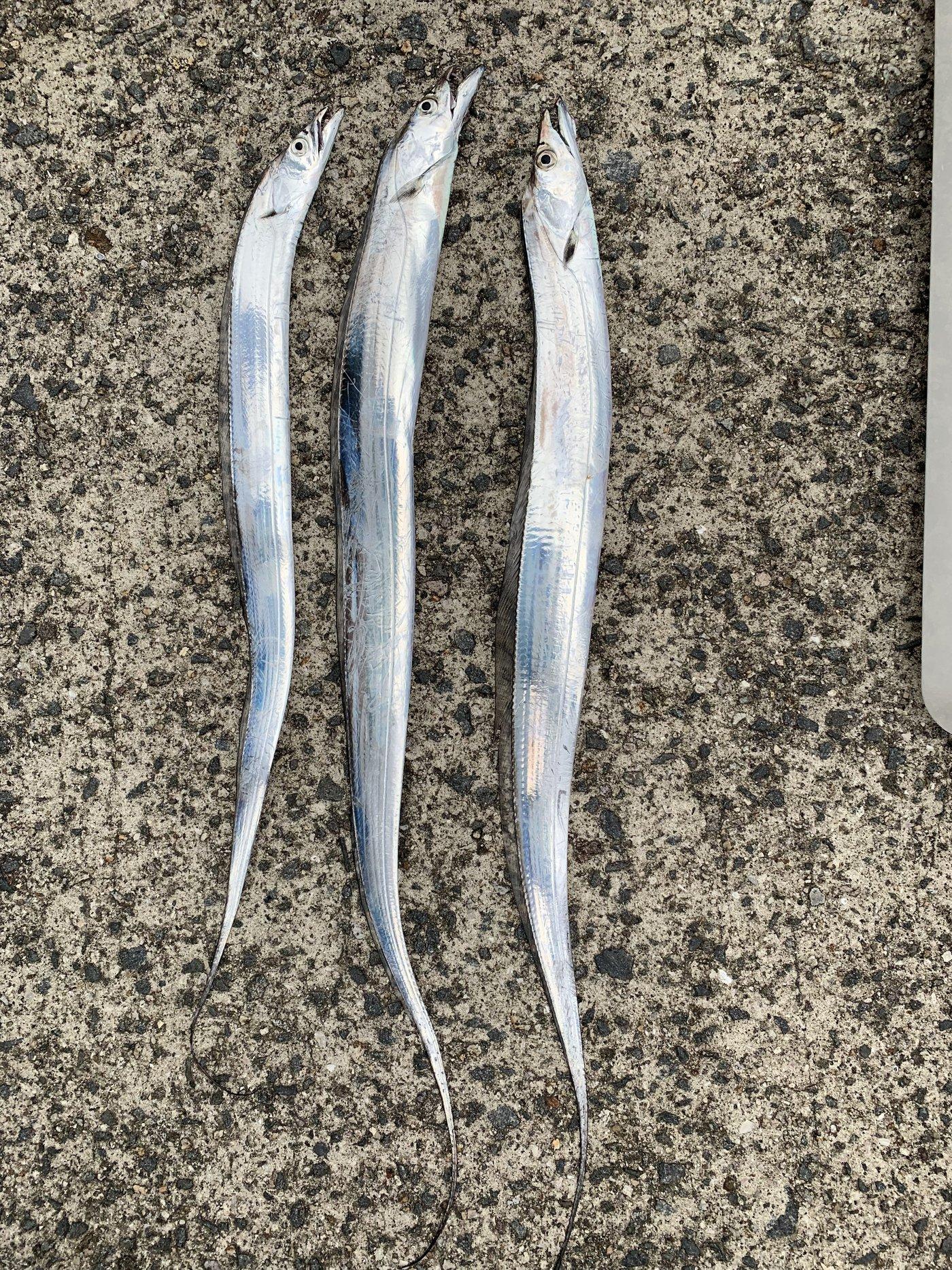 masatoさんの投稿画像,写っている魚はタチウオ