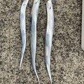 masatoさんの兵庫県淡路市での釣果写真