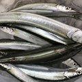 サヨリくんさんの兵庫県でのサヨリの釣果写真