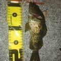 Ucchyさんのタケノコメバルの釣果写真