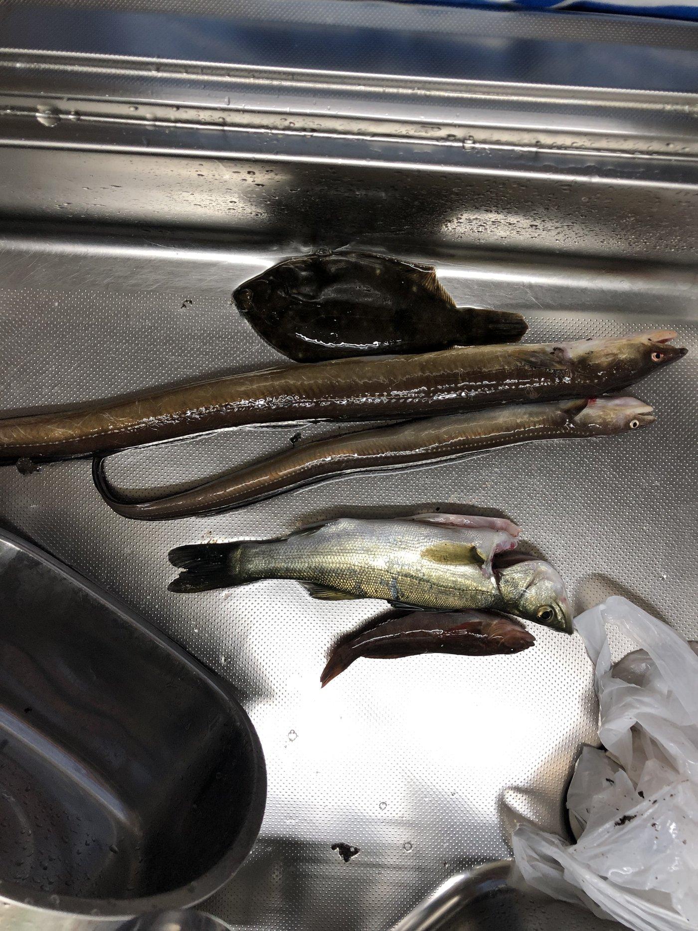 ナリ魚さんの投稿画像,写っている魚はアナゴ,スズキ,カレイ,アイナメ