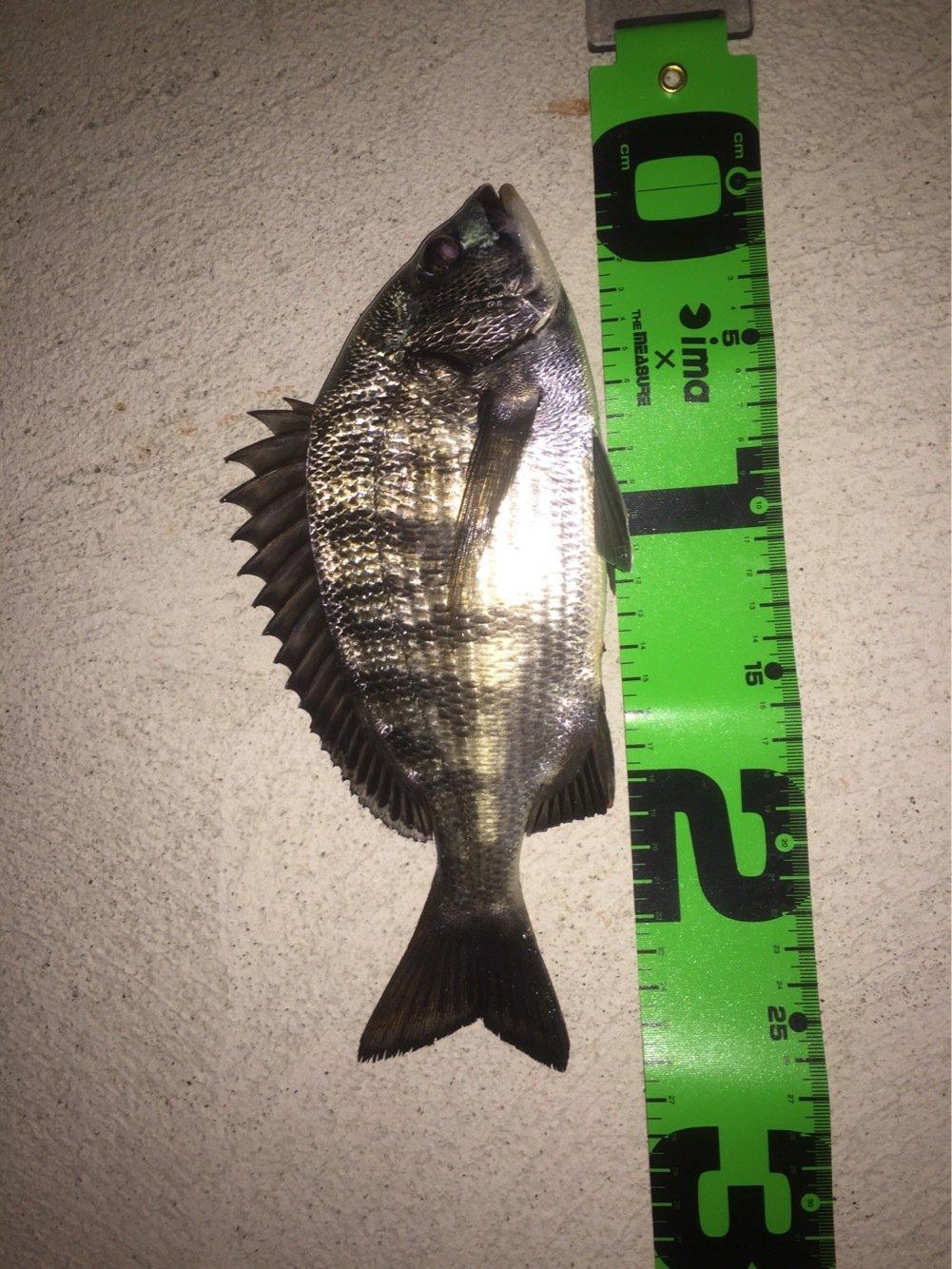 眼力さんの投稿画像,写っている魚はクロダイ