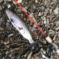 ひでさんの北海道岩内郡での釣果写真