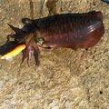 サワダマンさんの富山県高岡市でのアオリイカの釣果写真