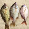 ひでさんの鳥取県岩美郡での釣果写真