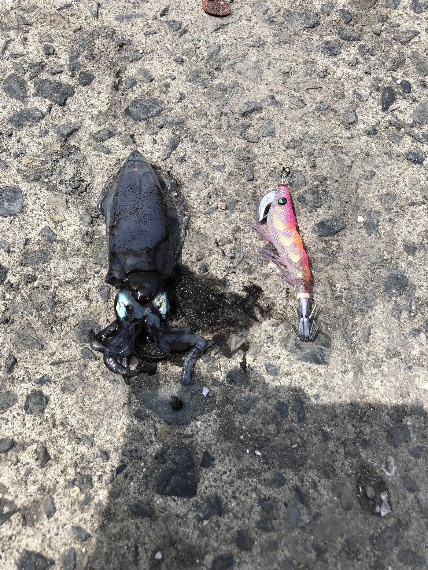 黒ぼーさんの投稿画像,写っている魚はアオリイカ