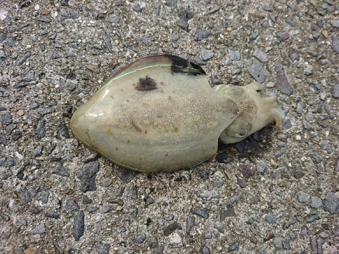 イカ くコ:彡さんの投稿画像,写っている魚はコウイカ