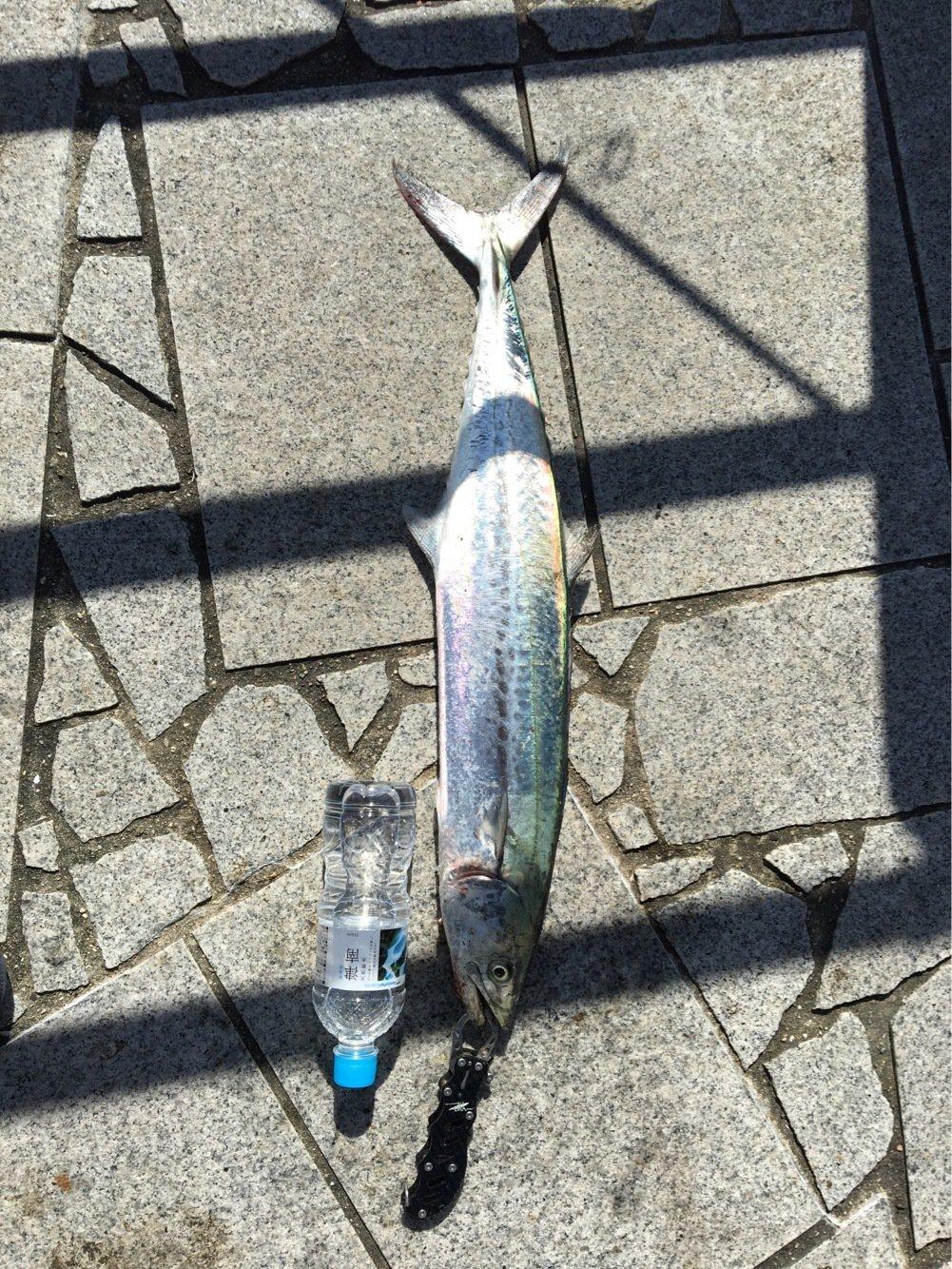 雅人さんの投稿画像,写っている魚はサワラ