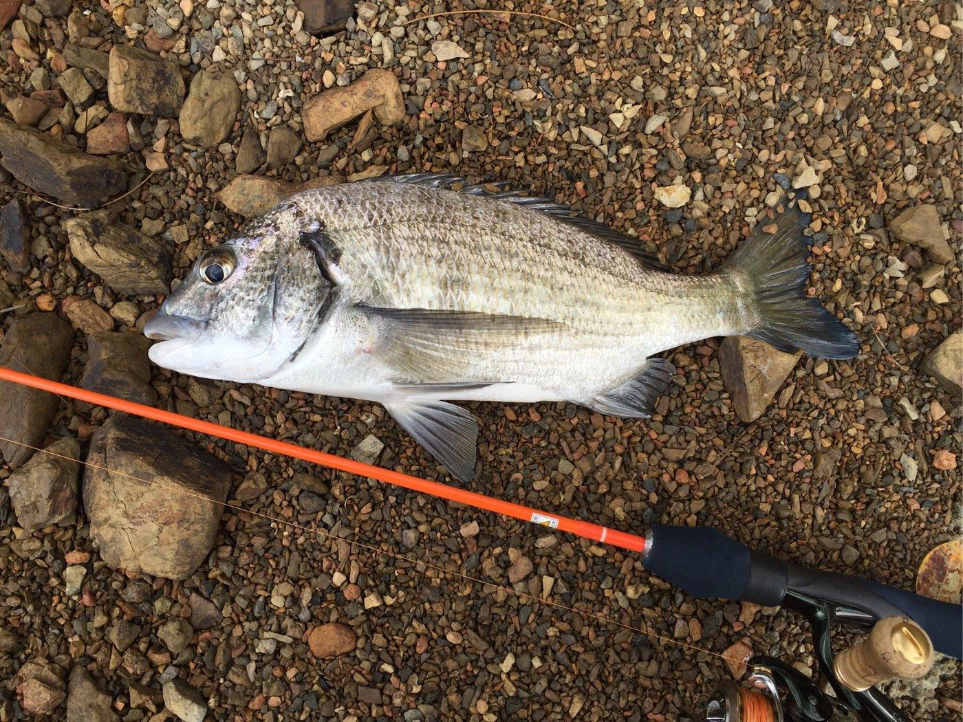 takechinさんの投稿画像,写っている魚はクロダイ