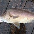 MDさんの鹿児島県垂水市での釣果写真