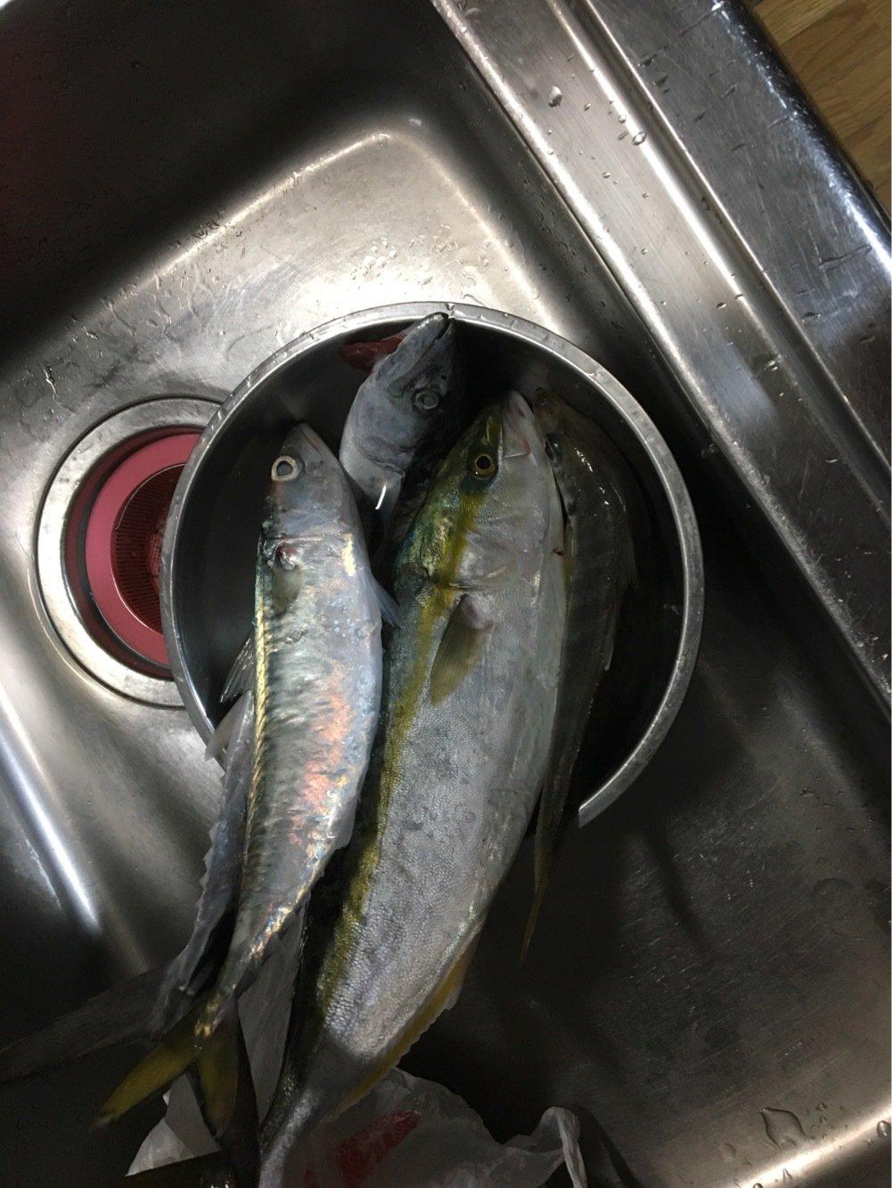 aoricyuさんの投稿画像,写っている魚はブリ