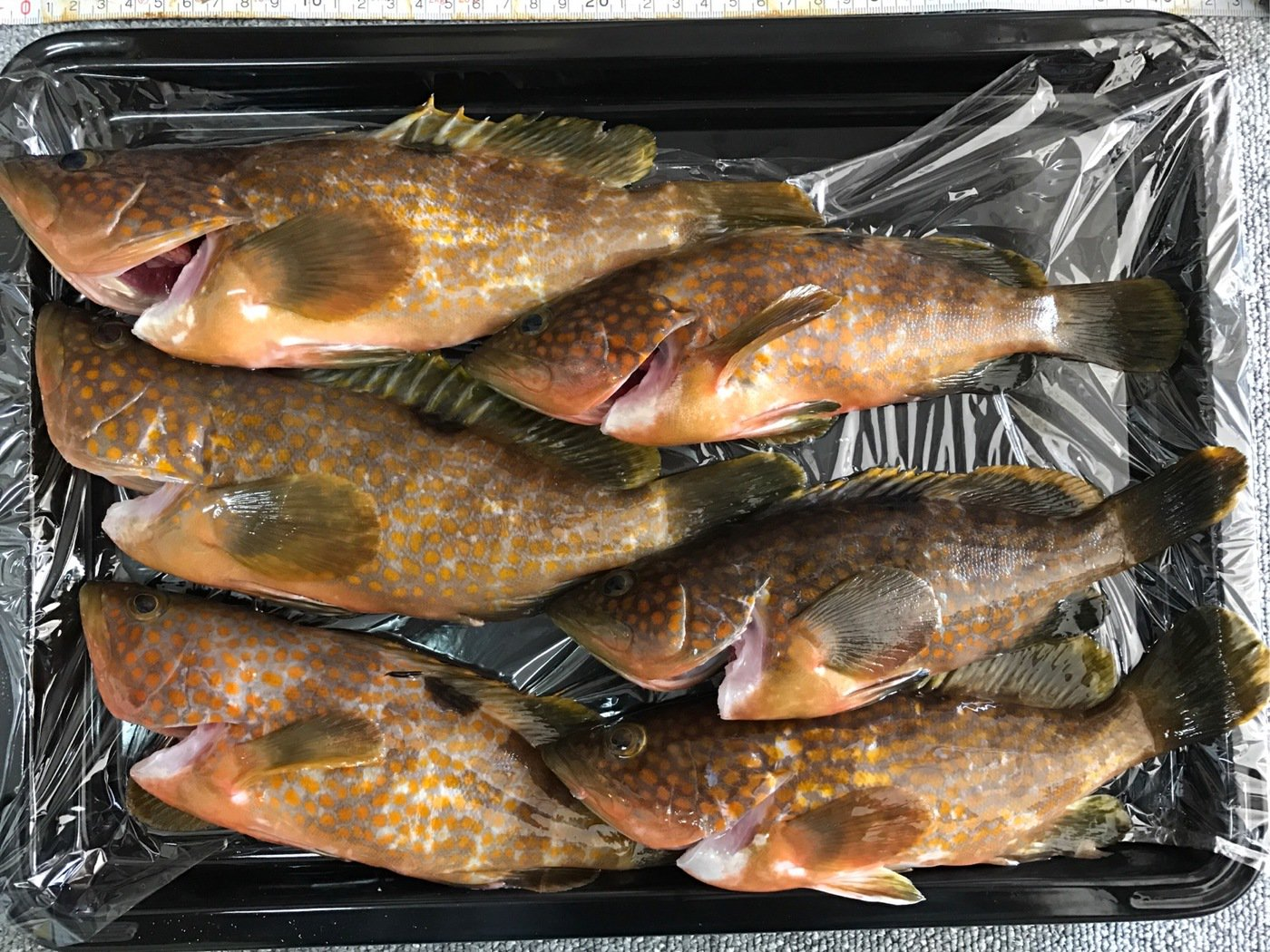 たかさんの投稿画像,写っている魚はキジハタ