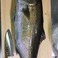 Gulp!先生さんの宮崎県延岡市での釣果写真