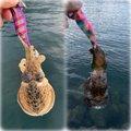 慎さんの三重県尾鷲市でのコウイカの釣果写真