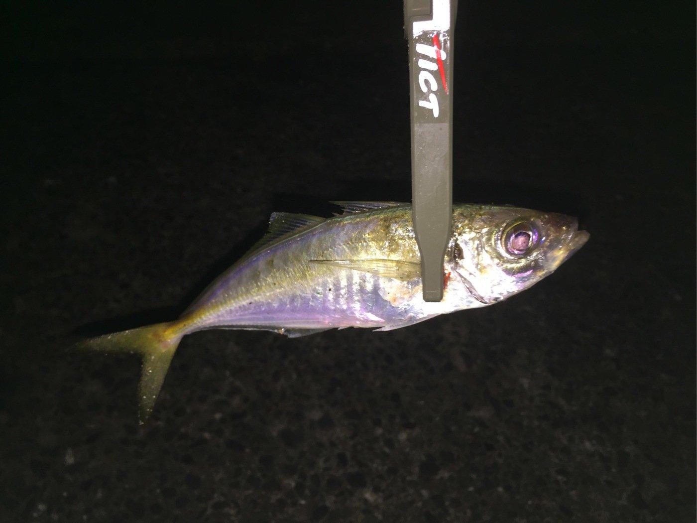 剛至さんの投稿画像,写っている魚はアジ