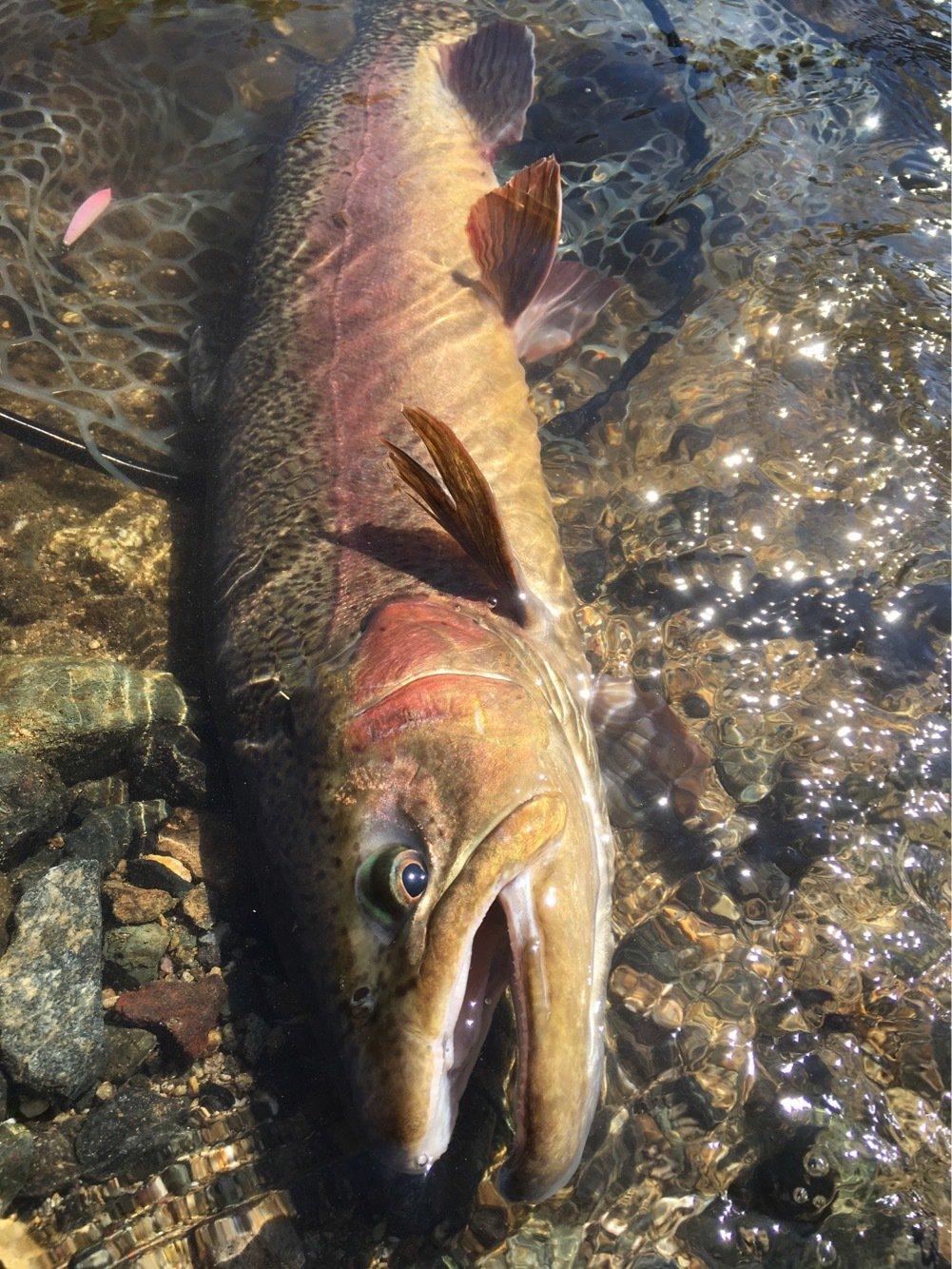 アオサギさんの投稿画像,写っている魚はニジマス