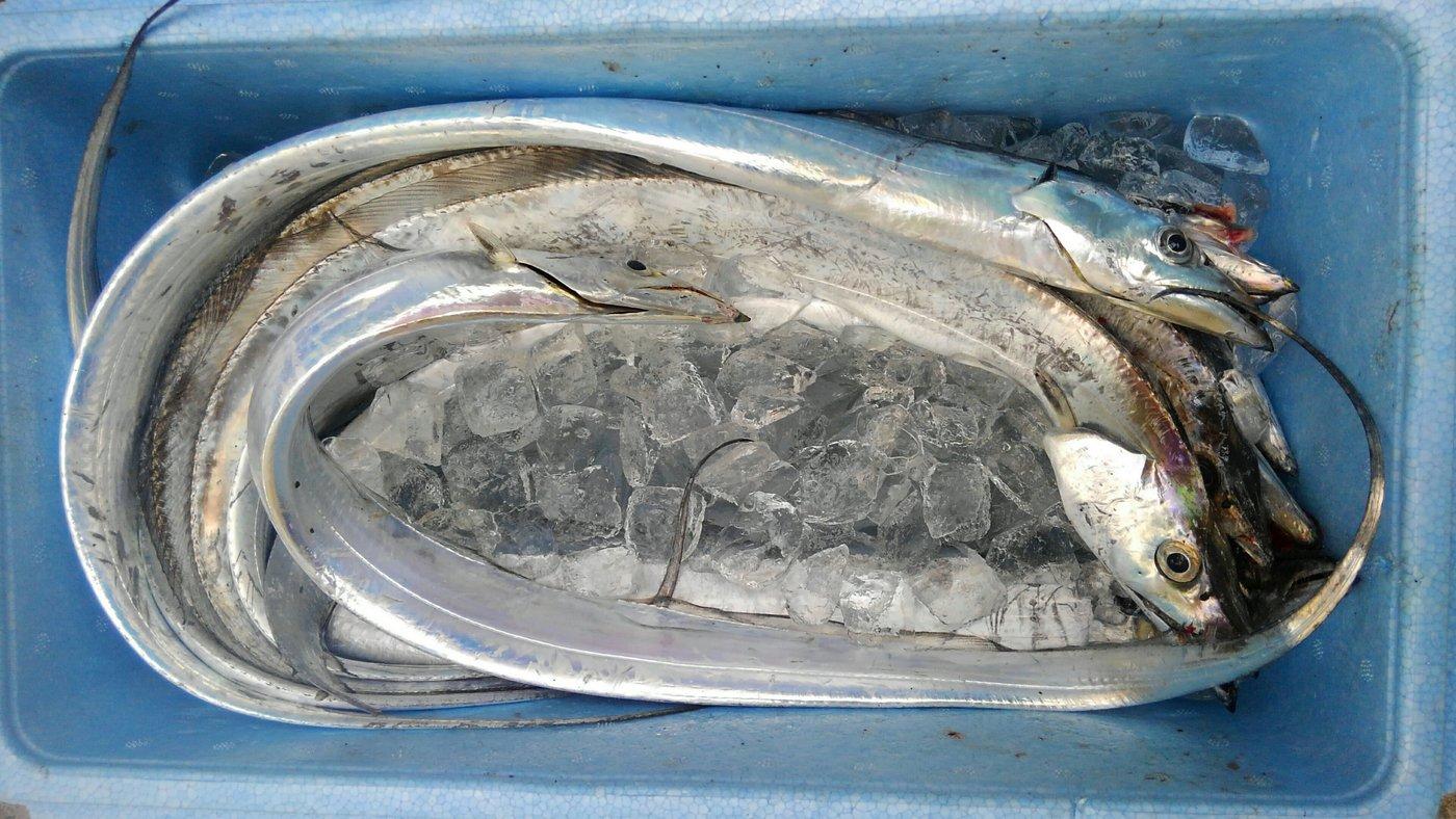 ゴールドさんの投稿画像,写っている魚はタチウオ