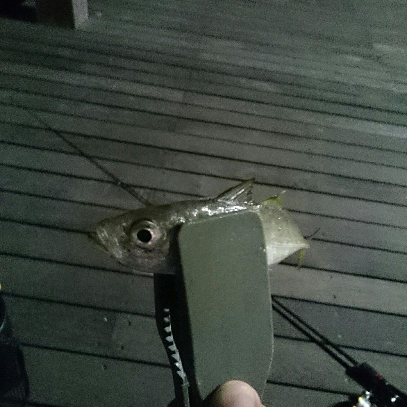 yasuken1990さんの投稿画像,写っている魚はアジ