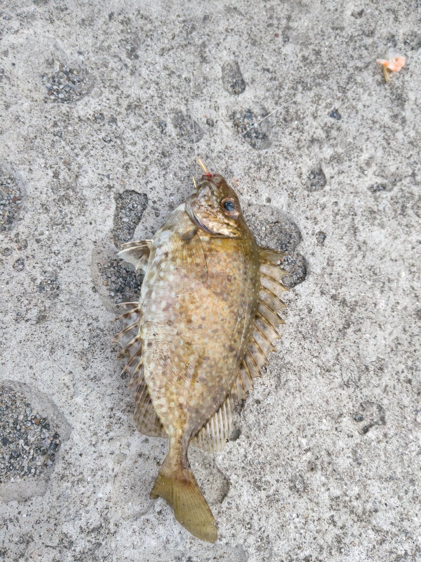 warkyさんの投稿画像,写っている魚はアイゴ